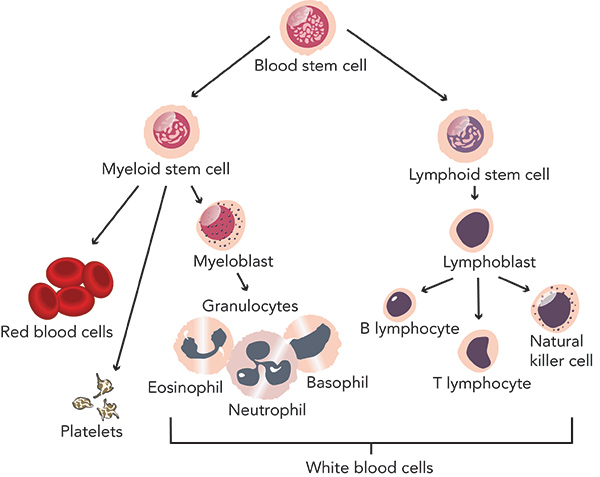 The biology of blood stem cells, which produce lymphoid stem cells and myeloid stem cells.