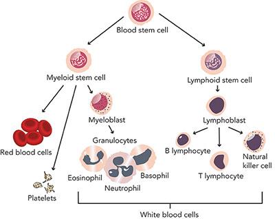 Chronic Lymphocytic Leukemia Facts Seattle Cancer Care